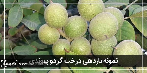 در اینجا 3 نهال گردو پیوندی مقرون به صرفه از ایران آورده شده است